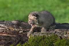 Baby Bobcat (Lynx rufus) Cries on Log Stock Photo