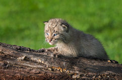 Baby Bobcat (Lynx rufus) on Log Facing Left Stock Photography