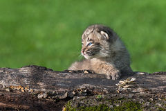 Baby Bobcat (Lynx rufus) on Log Looks Left Royalty Free Stock Photo