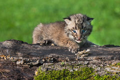 Baby Bobcat (Lynx rufus) Looks Out from Atop Log. Captive animal Stock Photography