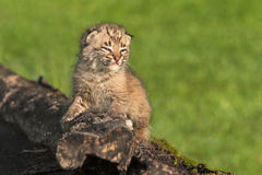 Baby Bobcat (Lynx rufus) Looks Right From Log. Captive animal Royalty Free Stock Image
