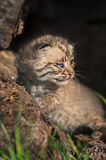 Baby Bobcat (Lynx rufus) Sits in Log Royalty Free Stock Images
