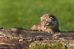 Baby Bobcat (Lynx rufus) Sits on Log Looking Left Stock Image