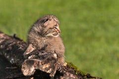 Baby Bobcat (Lynxrufus) op Logboek die net onder ogen zien Stock Fotografie