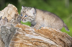 Baby bobcat Royalty Free Stock Image