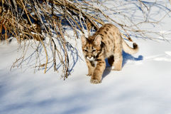Baby bobcat. Small baby animal, possibly a cub bobcat, in winter snow Royalty Free Stock Photo