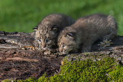 Baby Bobcats (Lynx rufus) Look Down from Log Royalty Free Stock Images