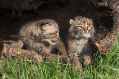 Baby Bobcats (Lynx rufus) Look Up in Log. Captive animals Royalty Free Stock Photography