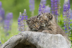 Baby Bobcats Snuggling Royalty Free Stock Photo