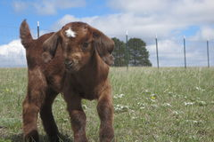 Baby Boer goat Royalty Free Stock Photography