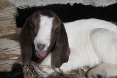 Baby Boer Goat with Tongue Out. A baby goat laying in the sun with tongue sticking out royalty free stock images
