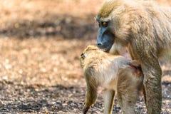 Baby-Bohrgerät-Affe und Mutter Lizenzfreies Stockfoto