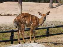 Baby Bongo antelope Stock Photos