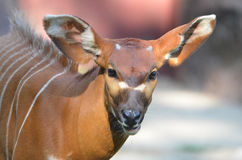 Baby bongo Royalty Free Stock Photo