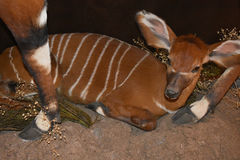 Baby-Bongoantilope lizenzfreie stockfotografie