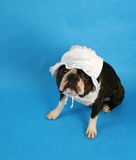 Baby bonnet. A boston terrier with a baby bonnet on Royalty Free Stock Photography