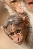 Baby Bonnet Macaque Peeking Between Its Parents. In Bandipur National Park, India royalty free stock image