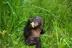 A baby bonobo is eating something.. Democratic Republic of Congo. Lola Ya BONOBO National Park. Stock Image