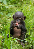 A baby bonobo is eating something.. Democratic Republic of Congo. Lola Ya BONOBO National Park. Royalty Free Stock Photo