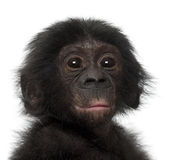 Baby bonobo, Pan paniscus, 4 months old Royalty Free Stock Photos