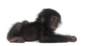 Baby bonobo, Pan paniscus, 4 months old, lying Royalty Free Stock Photos