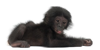 Baby bonobo, Pan paniscus, 4 months old, lying Royalty Free Stock Images