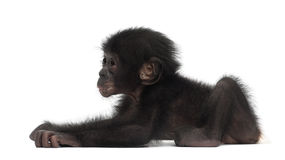 Baby bonobo, Pan paniscus, 4 months old, lying Stock Photography