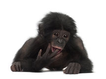 Baby bonobo, Pan paniscus, 4 months old, lying Stock Photo