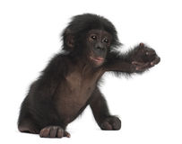 Baby bonobo, Pan paniscus, 4 months old, sitting Royalty Free Stock Images