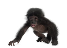 Baby bonobo, Pan paniscus, 4 months old, walking Royalty Free Stock Images