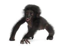 Baby bonobo, Pan paniscus, 4 months old, walking Stock Image