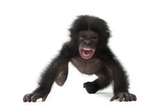 Baby bonobo, Pan paniscus, 4 months old, walking Royalty Free Stock Photos