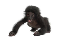 Baby bonobo, Pan paniscus, 4 months old, walking Royalty Free Stock Photography