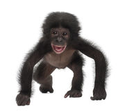 Baby bonobo, Pan paniscus, 4 months old, walking Stock Photo