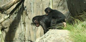 A Baby Bonobo Rides Piggyback Stock Image