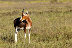Baby Bontebok Looking Right Royalty Free Stock Images