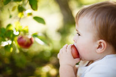 Baby boy eating an apple Royalty Free Stock Images