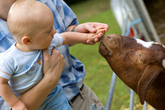 Baby boy petting animal. 10 months old baby boy feeding a goat Stock Images