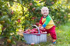 Baby boy picking apples in fruit garden Royalty Free Stock Image