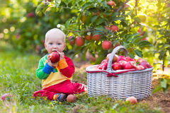 Baby boy picking apples in fruit garden Royalty Free Stock Images