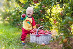 Baby boy picking apples in fruit garden Stock Photography