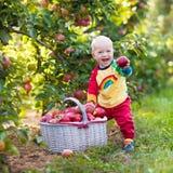 Baby boy picking apples in fruit garden Stock Image