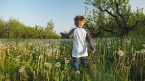 A baby boy running through a meadow of dandelions. Rear view: A baby boy running through a meadow of dandelions through the apple orchard. The camera follows the stock video footage