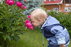 Baby boy smelling giant rose Stock Image