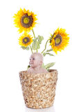 Baby boy in sunflowers Stock Images