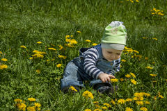 Baby boy touching yellow dandelion royalty free stock images