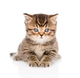 Baby british tabby kitten lying in front. On white stock photo