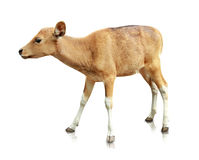Baby brown banteng  on white background Stock Photo