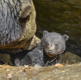 Baby brown bear and his mother Stock Images