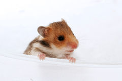 Baby brown black hamster peep Royalty Free Stock Photography